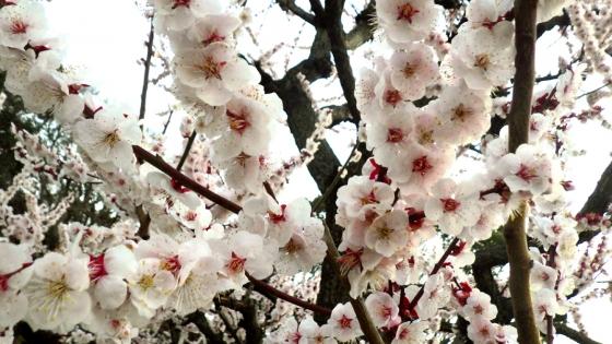 ばいりん! 大阪城梅林 2019 Part6 豊後(ぶんご) その6