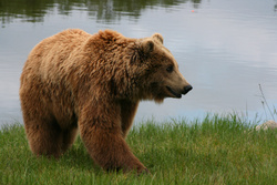 250px-Brown_bear_(Ursus_arctos_arctos)_smiling.jpg
