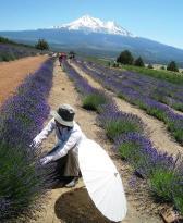 lavender farm 070510-13