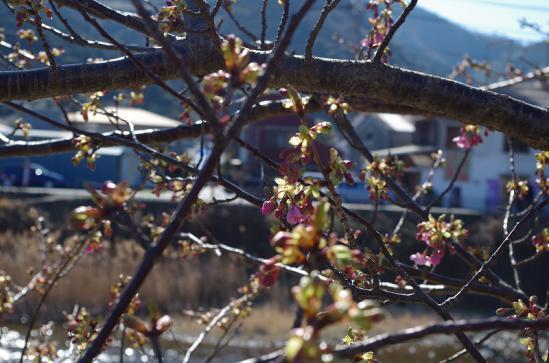 河津桜まつり 2