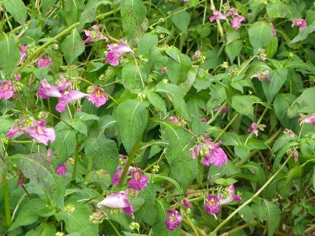 外来種の花