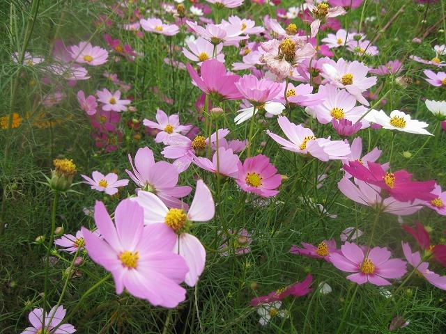 花に元気が無いとのご批判もありました。今度は天気の時のコスモスです。