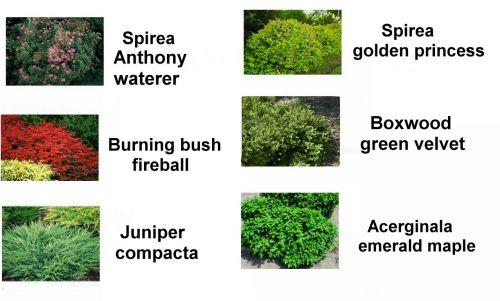 Landscape Bushes