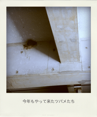 Nest of Swallow