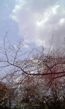 「あるがままに生きる」-桜