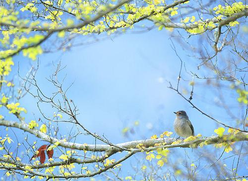 #690 黃腹春萌 Spring is Here ! - 無料写真検索fotoq
