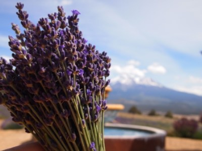 web lavender farm 201406 P6157661