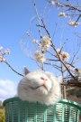 .さくらんぼの花