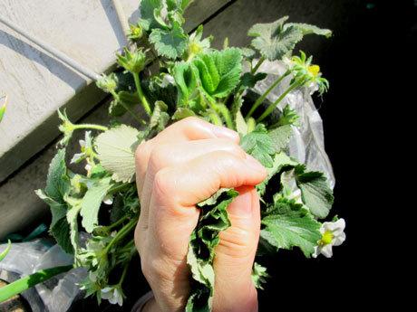 四季なりイチゴのめちゃウマ。ペットボトル栽培も放射状にできている。
