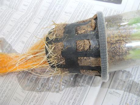 ヤグラネギの根(水耕栽培)