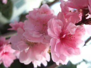 蔵王の桃の花