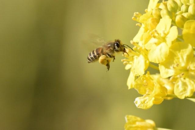 Image result for 日本ミツバチの写真