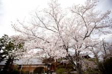 $さんアイアイ-2011桜2