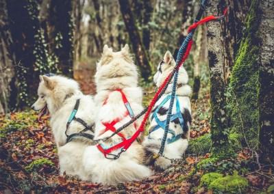 choix harnais de traction pour chien