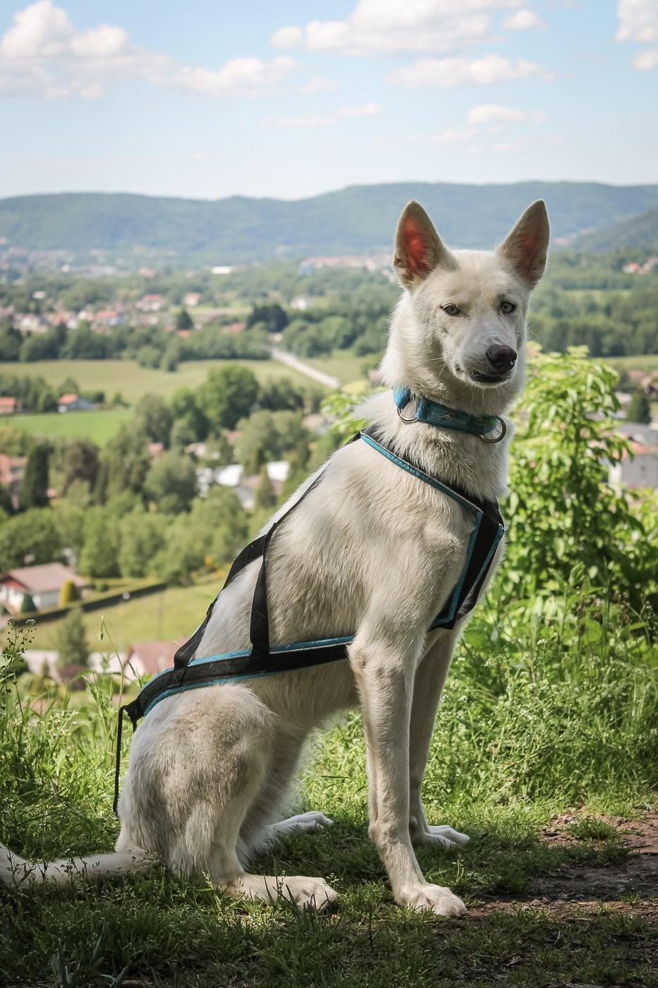 harnais chien cani rando