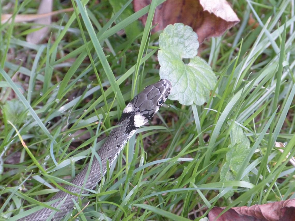 grass-snake-634637_1280