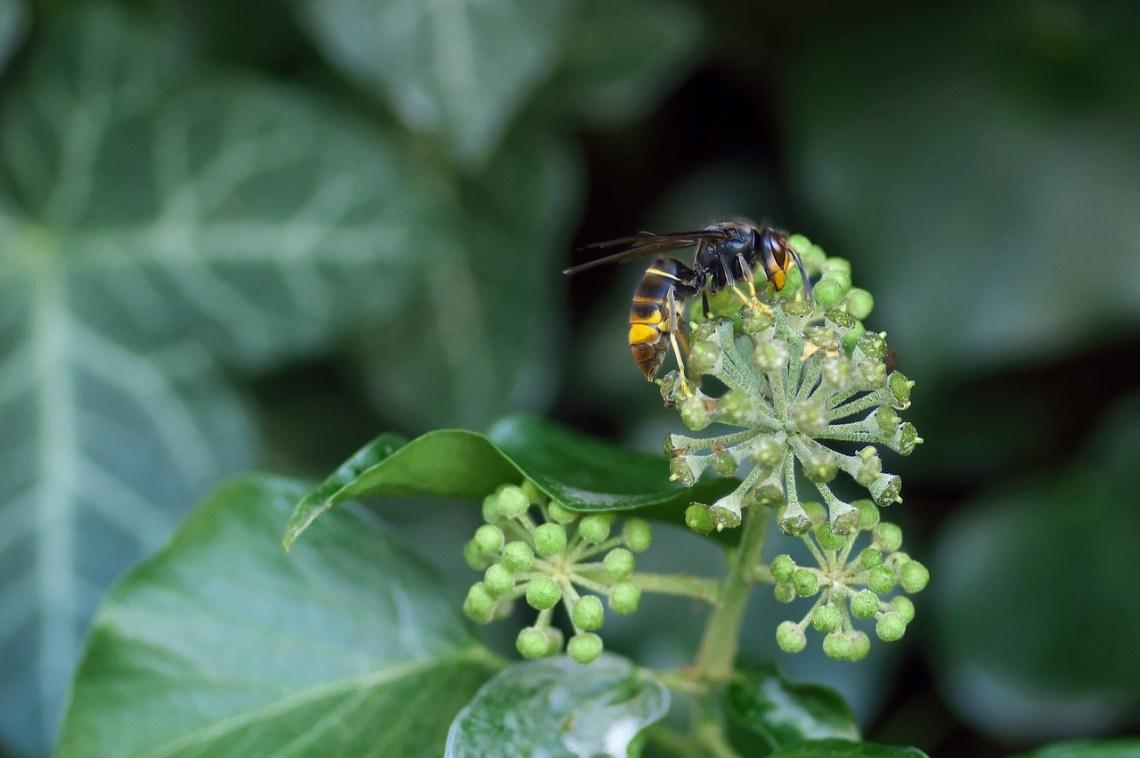 asian-hornet-1822314_1280