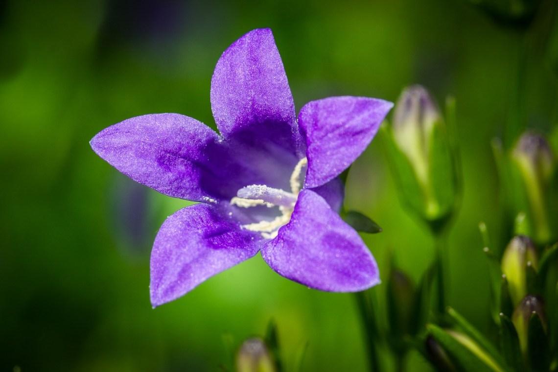 bluebells-1429817_1280