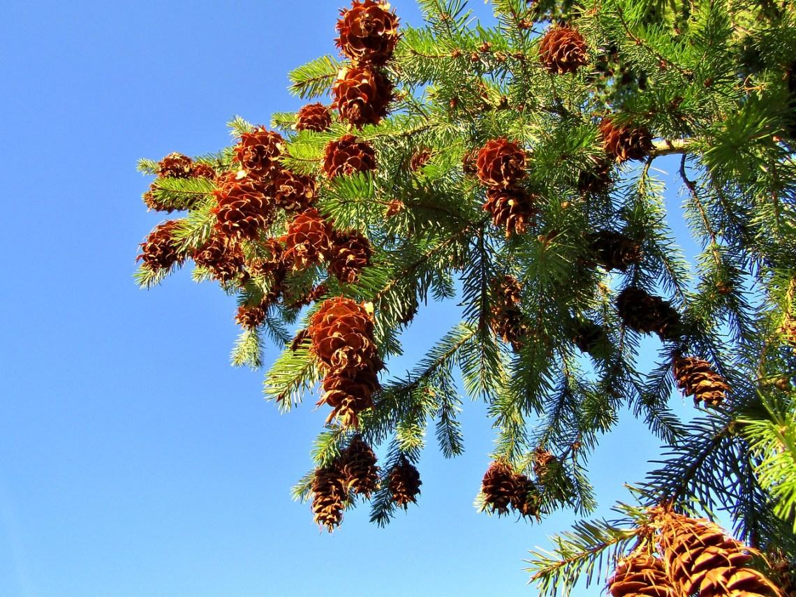 pine-cones-4855556_1280