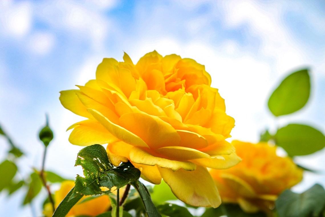 rose-3437262_1280