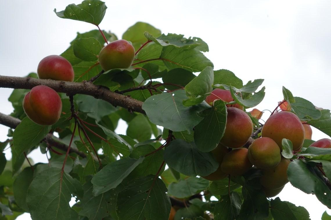 apricot-2458696_1280
