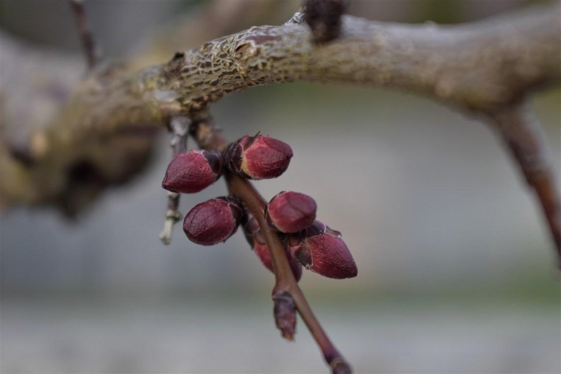 apricot-tree-4041936_1280