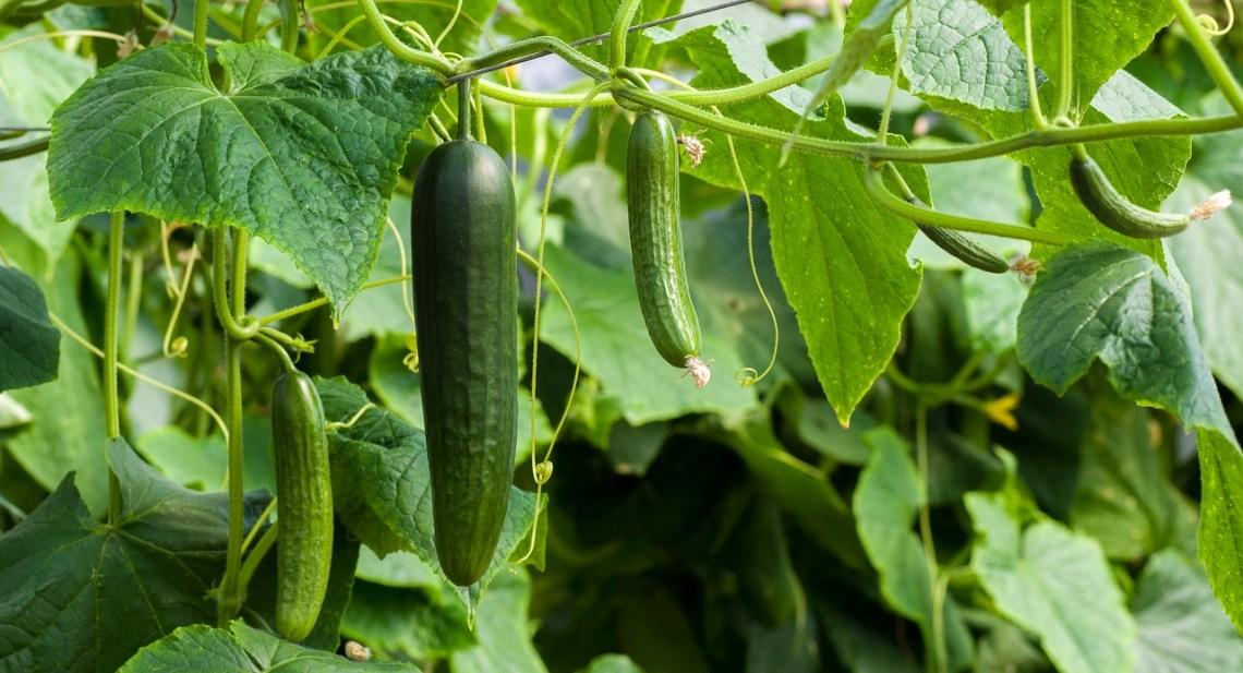 cucumbers-3809535_1280