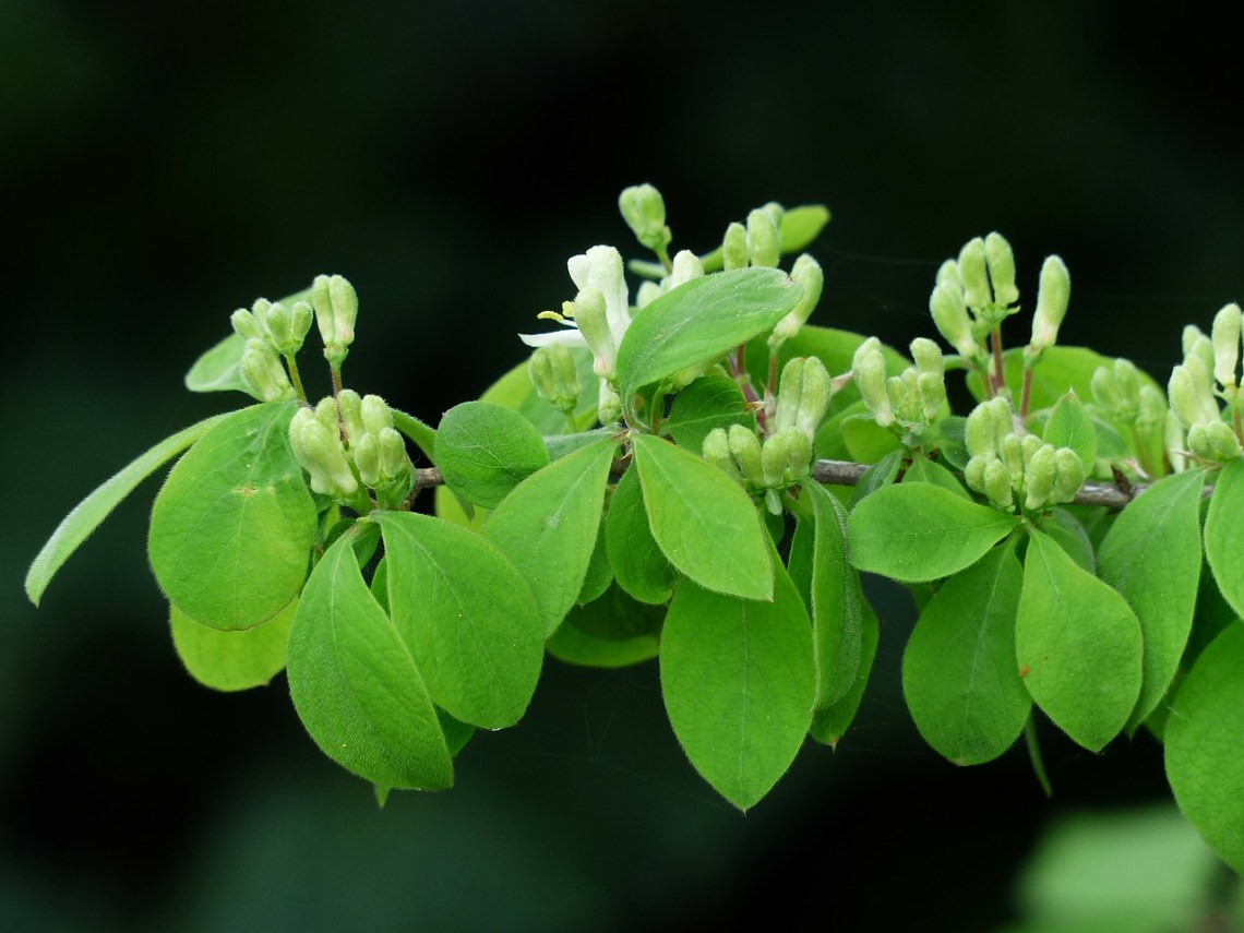 lonicera-xylosteum-115330_1280