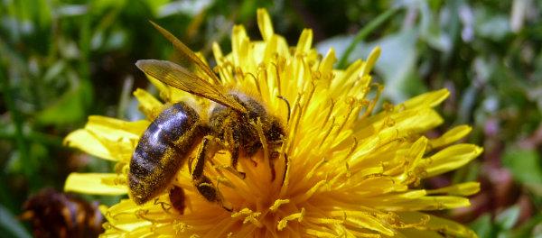 Abeille prise en gros plan (mode macro) sur une fleur jaune, pleine de pollen