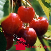 Cerises bien rouges sur le cerisier