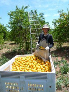 Cueillette des pommes en Nouvelle-Zélande