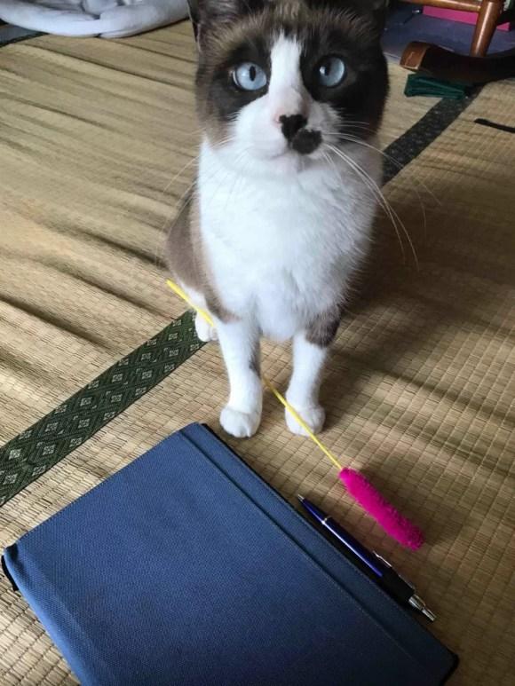 遊んでくれるのを待っている猫
