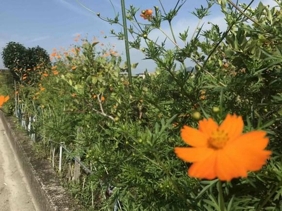 道端のオレンジの花の写真