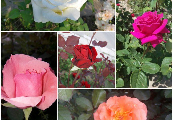 """Bonheur insolite dans les rosiers et """"Belles roses"""""""
