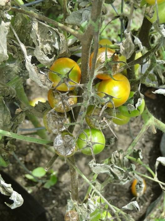 tomato-608290_1280(3)