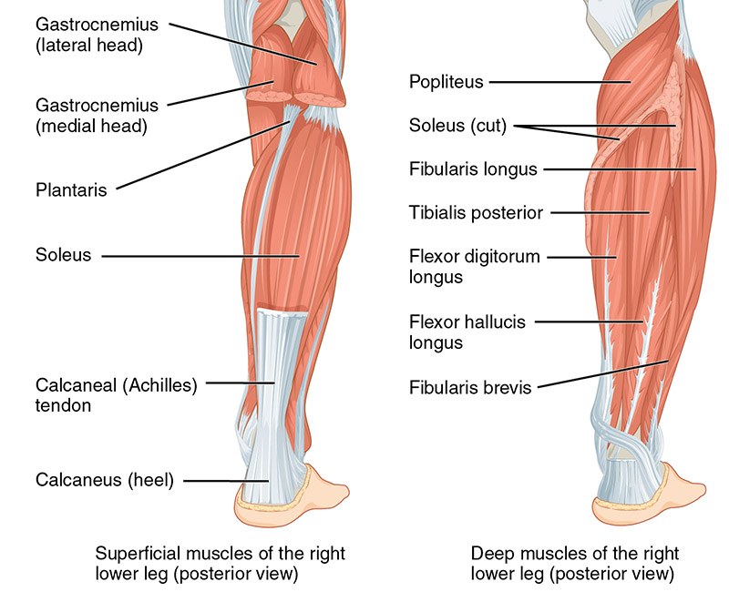 Leg Muscles And Tendons Of The Left