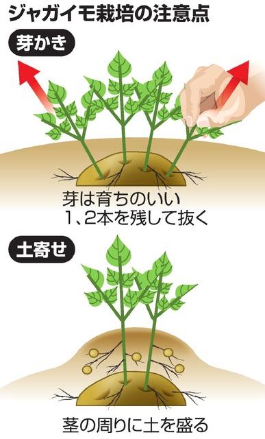 ジャガイモ栽培の注意点