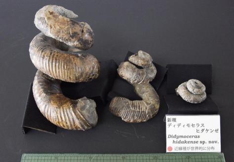 北海道浦河町で見つかった新種のアンモナイト「ディディモセラス・ヒダケンゼ」の化石=14日午後