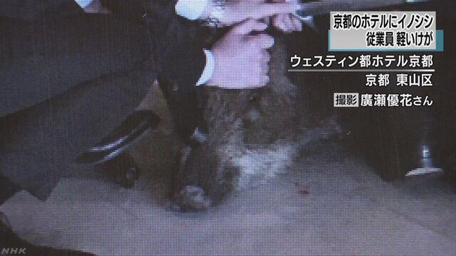 イノシシがホテルのロビーに 従業員かまれ軽傷 京都 | NHKニュース