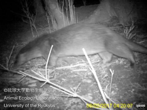今年2月に撮影されたカワウソ(琉球大学動物生態学研究室提供)