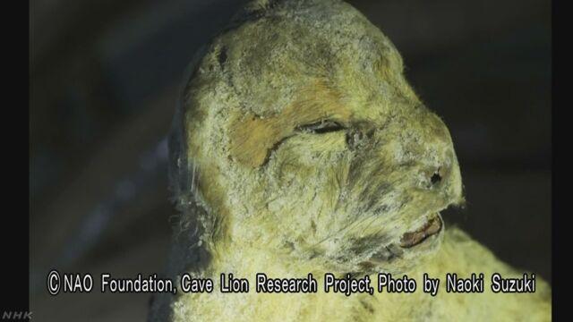 絶滅した謎の肉食獣 ロシアの永久凍土から見つかる | NHKニュース