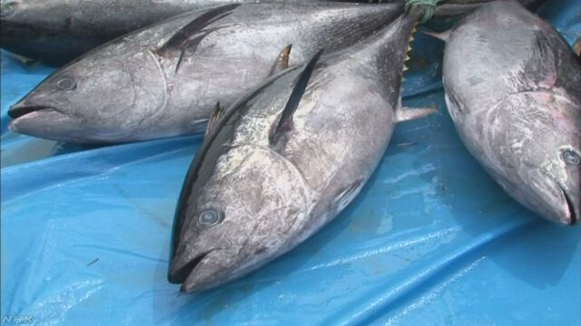 クロマグロ漁 初の漁獲停止を勧告 水産庁