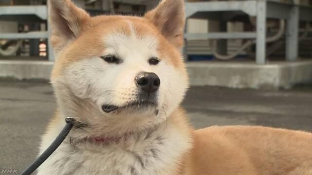 駅前ホテルの秋田犬 観光客に人気 秋田 大館 | NHKニュース