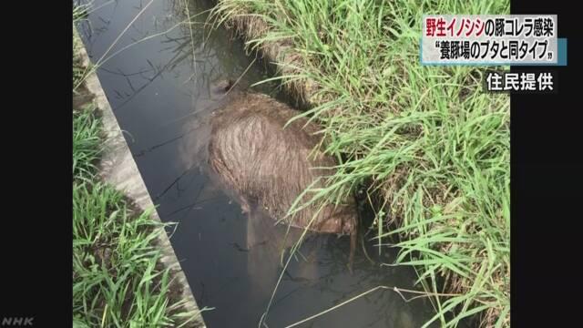 野生イノシシも養豚場のブタと同型ウイルスに感染 岐阜 | NHKニュース