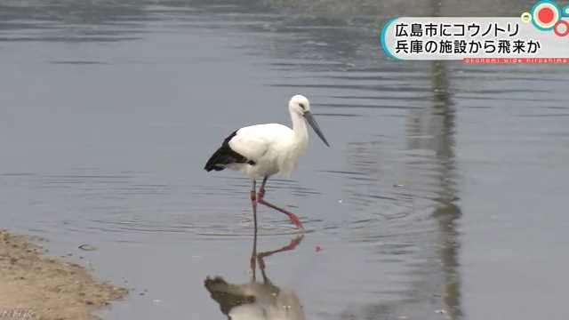 広島市の川にコウノトリが飛来
