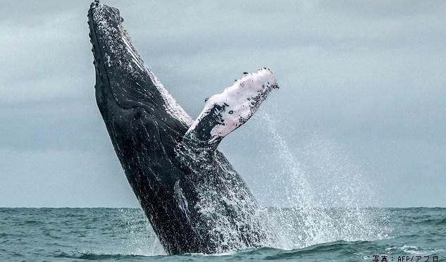 IWCから脱退表明 商業捕鯨再開へ