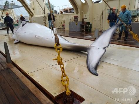 日本の調査捕鯨船が南極海で捕獲したミンククジラ。日本鯨類研究所の公開写真(撮影日不明、2014年11月18日公開、資料写真)。(c)AFP PHOTO / FILES / THE INSTITUTE OF CETACEAN RESEARCH