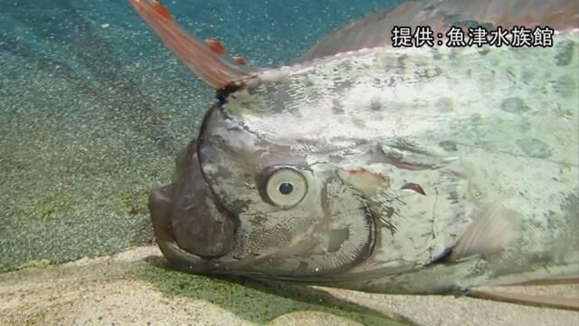 相次ぐ「リュウグウノツカイ」今度は生きている… 富山 | NHKニュース