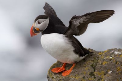 puffin_iceland
