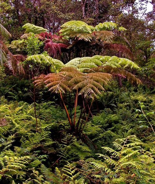 Tree fern ,Big Island, HI, 24 July 2002 by Ted Lee Eubanks